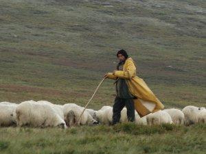 shepherd flock sheep